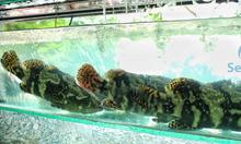 Cá mú trân châu sống (1,1kg - 1,2kg)