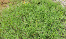 Giống cỏ Bermuda