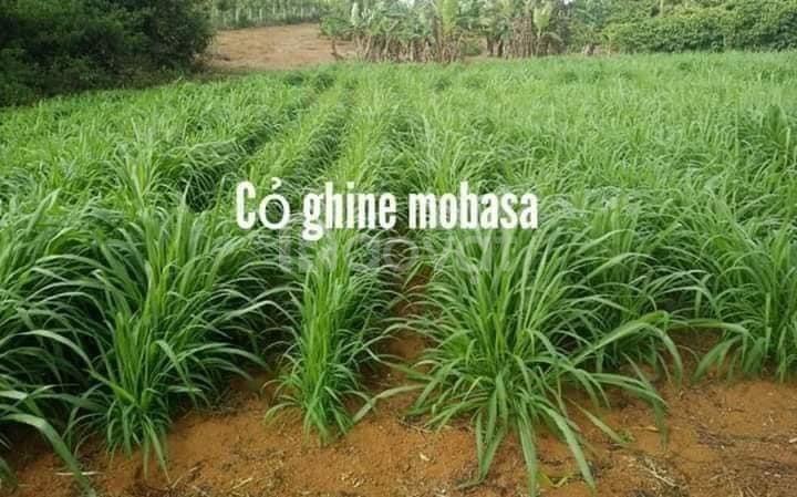 Tổng hợp các loại cỏ trong chăn nuôi