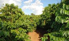 Bán 5000m2 đất rẫy cà phê giá rẻ tại trung tâm huyện Iagrai, Gia Lai