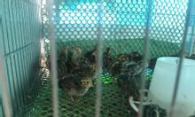 Chim cút giống nhà nuôi khoẻ, mạnh 10000%