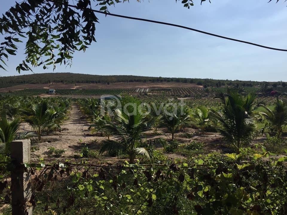 Bán 7320m2 đất trồng cây bình thuận chỉ 65k/m bao sang tên