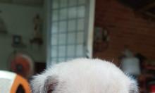 Chó pug con 2 tháng tuổi