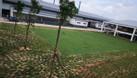 Bán cỏ và trồng cỏ giá rẻ, bảo hành sống (ảnh 3)