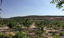 Đất trông cây lâu năm giá rẻ gần sân bay Phan Thiết