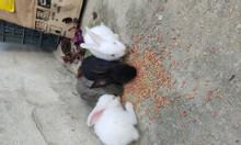 Thanh lý đàn thỏ thuần bố, mẹ, 5 con 01 tháng tuổi