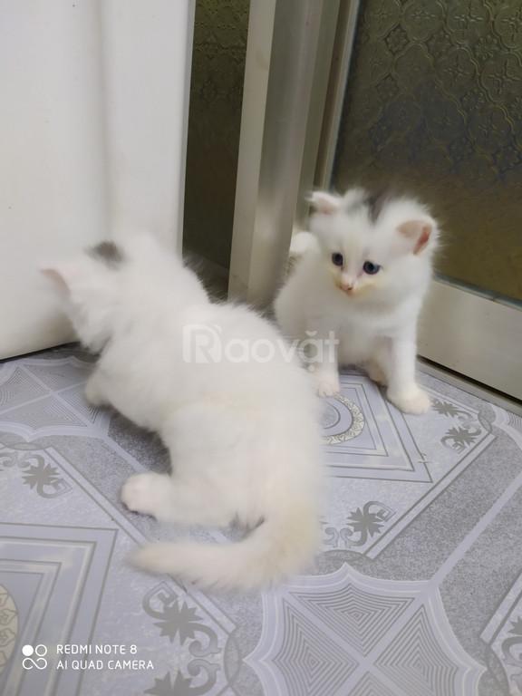 Tìm chủ mới 3 bé Mèo Anh Lông Dài mắt 2 màu Xanh& Nâu
