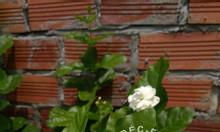 Hoa nhài - Lài trà