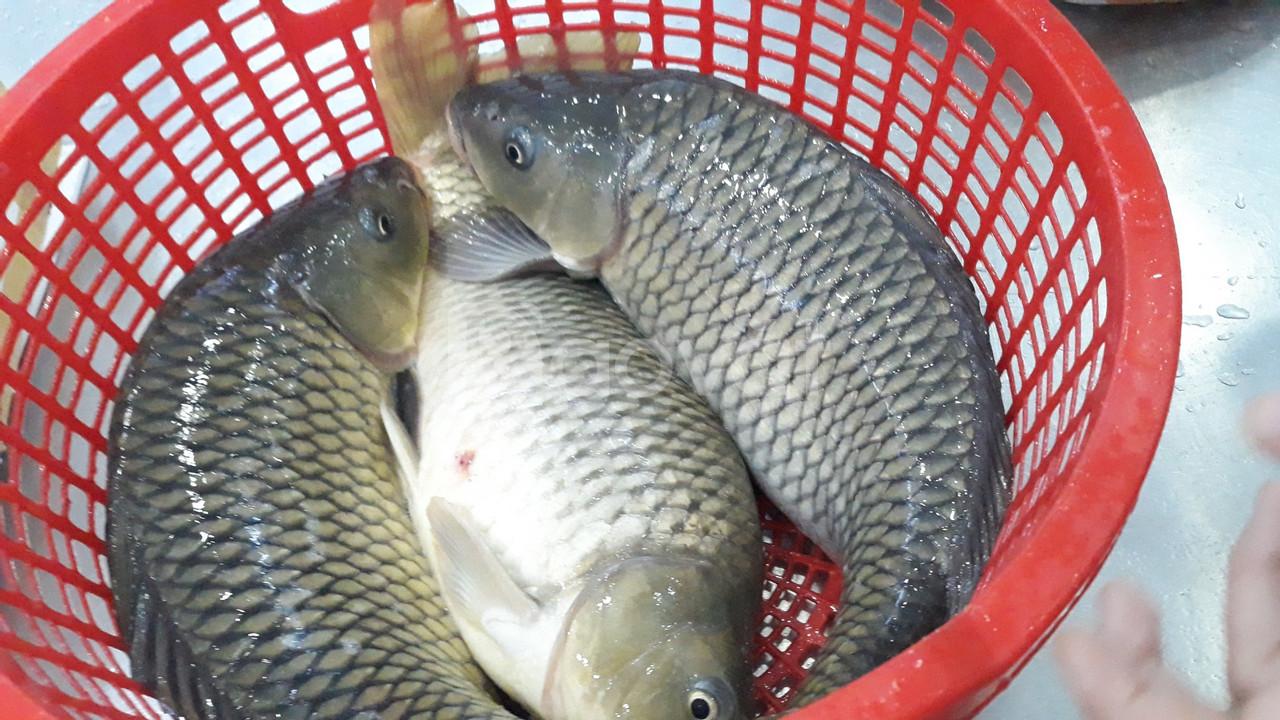 Cá chép giòn giống Nga 2- 3 kg/con