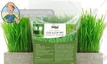 Bán hạt giống cỏ lúa mì tại Hà Nội chất lượng tốt