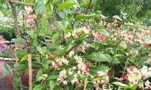 Cây hoa ngọc nữ