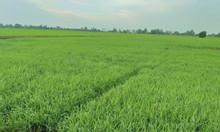 Bán nhanh 30000m2 đất nông nghiệp xã Phú Hiệp, Tam Nông, Đồng Tháp
