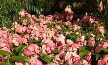 Cây bướm hồng - én hồng