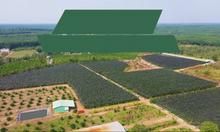 Bán đất vườn cam, bưởi đang thu hoạch sát Sông Bé, Tam Lập, Phú Giáo