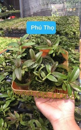Lan giống nuôi cấy mô Phi Điệp Phú Thọ (ảnh 1)