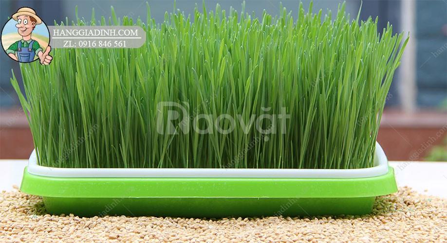 Bộ KIT trồng cỏ lúa mì tại nhà giá rẻ bảo hành hạt giống
