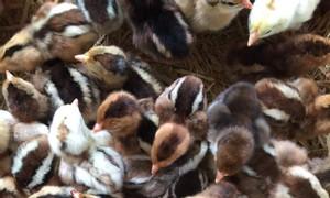 Cung cấp giống gà ta thả vườn