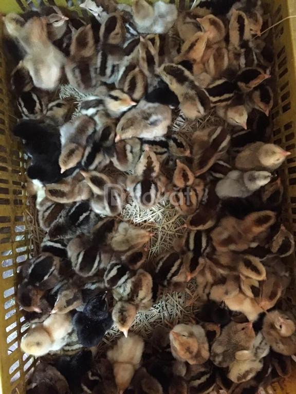 Cơ sở cung cấp giống gà ta thả vườn