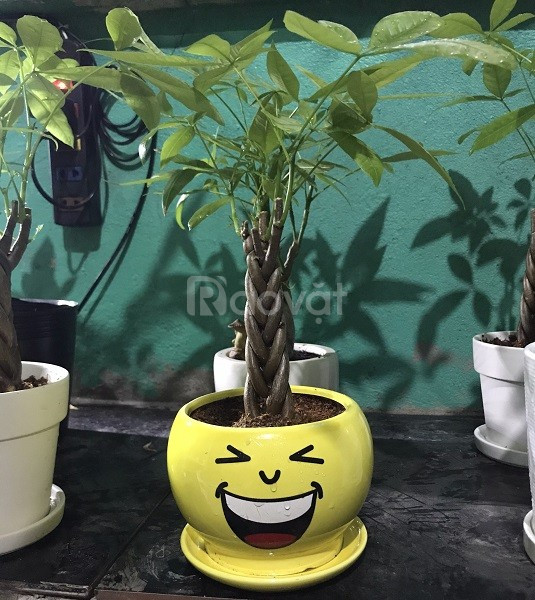 Cách chăm sóc cây Vương Thế Gia dễ dàng