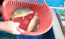 Cá chuỗi ngọc phiên bản nâp cấp của cá chép giòn