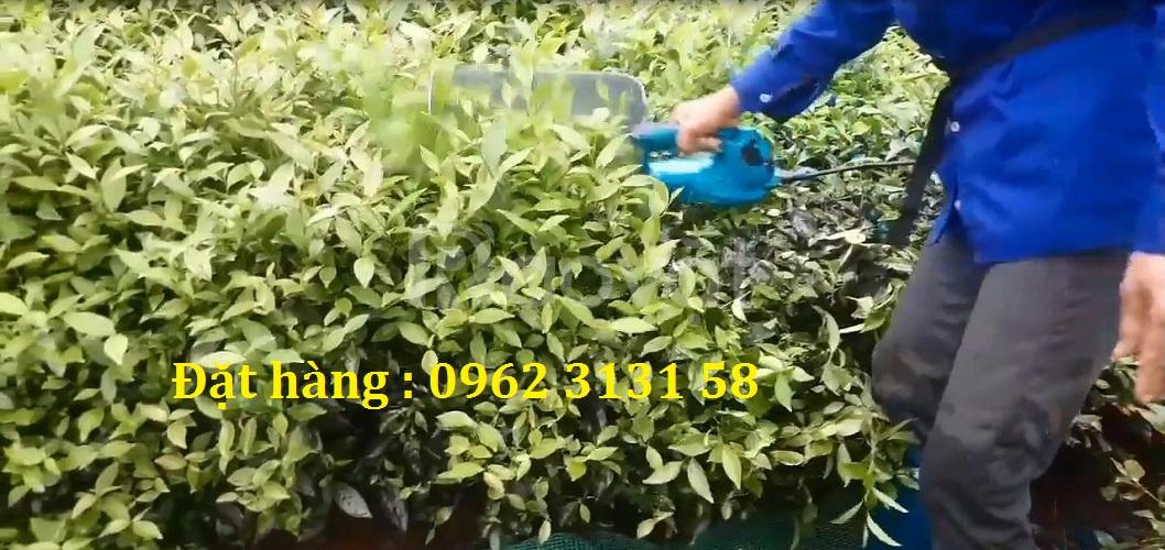 Đánh giá chất lượng máy hái chè mini chạy ắc quy trên đồi chè Phú Thọ