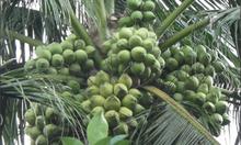 Triển lãm giống dừa lùn, nhiều trái