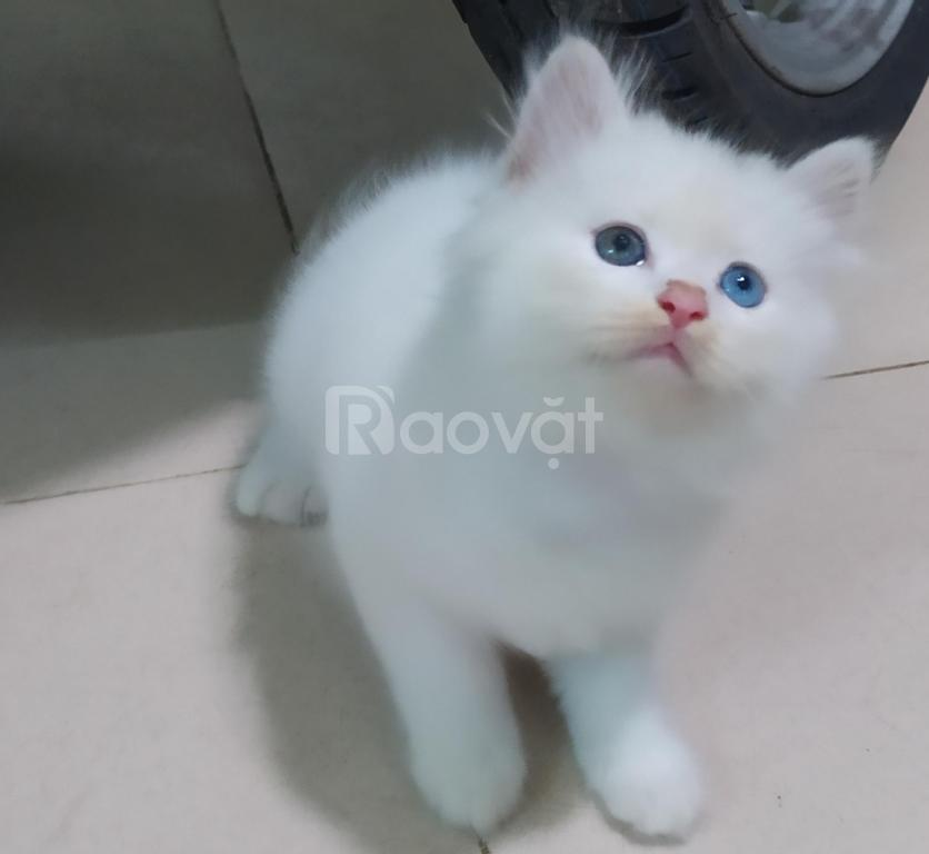 Bán 3 bé mèo Anh lông dài màu trắng, mun mắt xanh