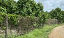 Chính chủ cần bán lô đất vườn đang trồng xoài