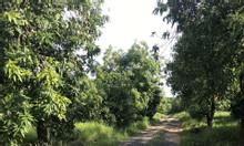 Bán gấp đất vườn đẹp, đường ôtô vào tận đất