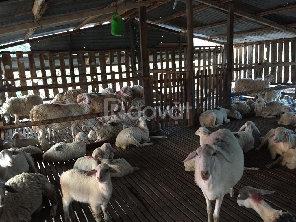 Cung cấp thịt cừu tươi, cừu giống từ Ninh Thuận, giá bán theo nhu cầu