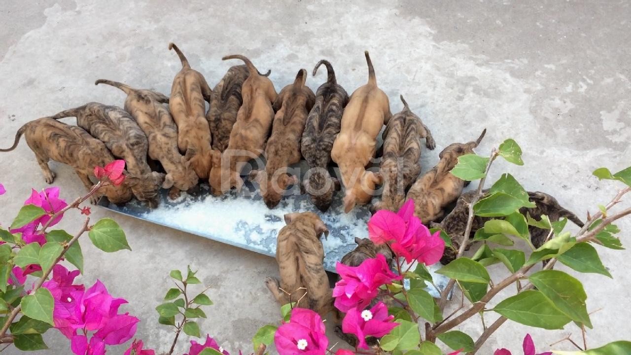 Bán đàn chó Phú Quốc gần 2 tháng tuổi, đã tiêm phòng đầy đủ