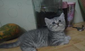 Cần tìm nhà mới cho 2 bé mèo lông ngắn cute