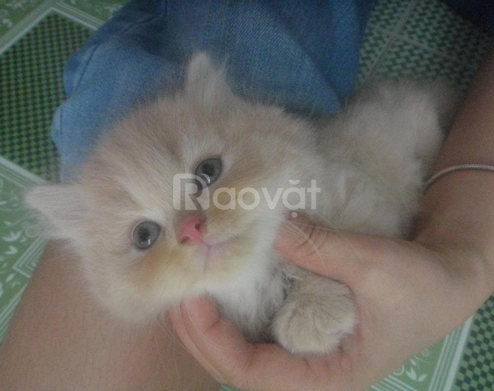 Mèo ú hồng phấn siêu xinh tìm nhà mới
