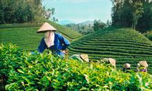 Sản xuất cung cấp trà ngon, quy chuẩn sạch, giá vừa phải