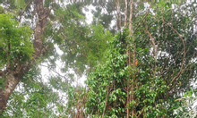 Cung cấp cây giống bao tiêu đầu ra