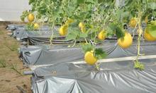 Màng phủ đất, màng phủ nông nghiệp trồng rau sạch