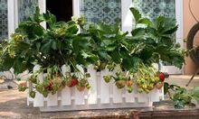 Bán cây dâu tây tại Hà Nội