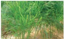 Trang trại Thụy Phương bán cây măng tây cảnh