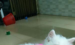Bán 3 bé mèo Anh LD màu trắng, mun mắt xanh