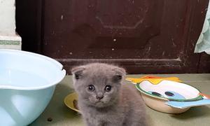 Mèo Anh lông ngắn tai cụp màu xám xanh