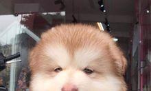 Chó Alaska hồng phấn 3 tháng tuổi
