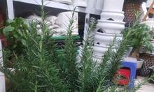 Trang trại Thụy Phương bán cây hương thảo