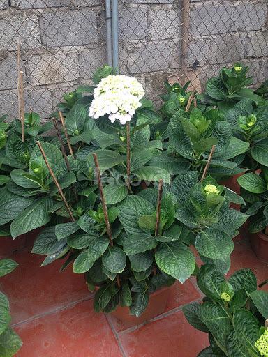Bán cây hoa cẩm tú cầu tại Hà Nội