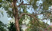 Cây bò cạp vàng val 90cm