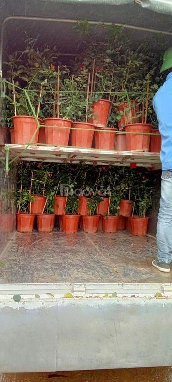 Buôn sỉ lẻ giống cây ăn quả Bắc Ninh, Bắc Giang