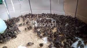 Trại gà Thụy Phương bán chim cút giống