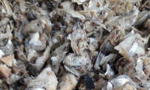 Cung cấp đầu cá cơm khô số lượng lớn