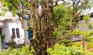 Cây khế kiểng độc lạ tại Long An