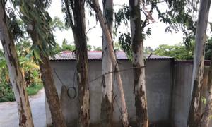 Bán 6 cây bạch đàn 35 năm tuổi