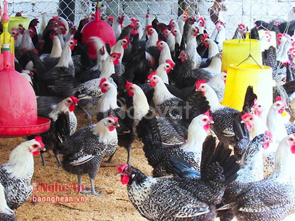 Trang trại Thụy Phương bán gà Ai Cập giống